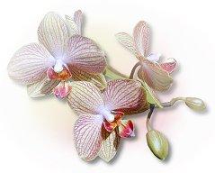 orchid1blnk1.jpg