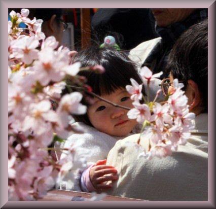 Les cerisiers du Japon. dans Actu PID_1223503_6449f1ee-80ae-11e1-b372-7308d846fdda_web.jpg.h380